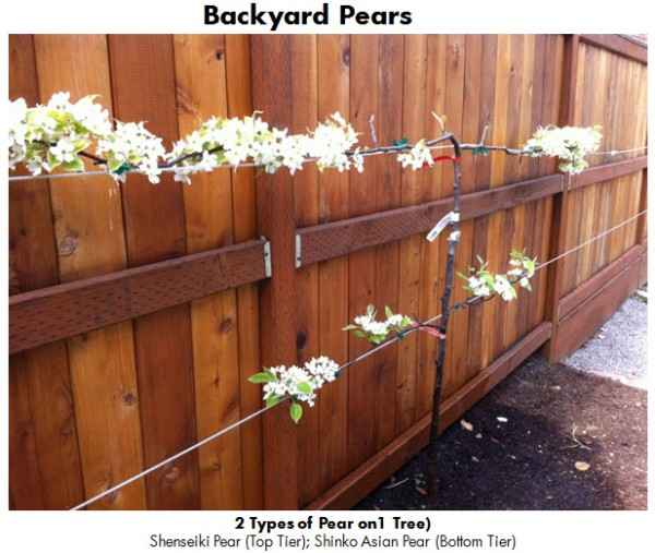 Backyard Pears 1 April 2013