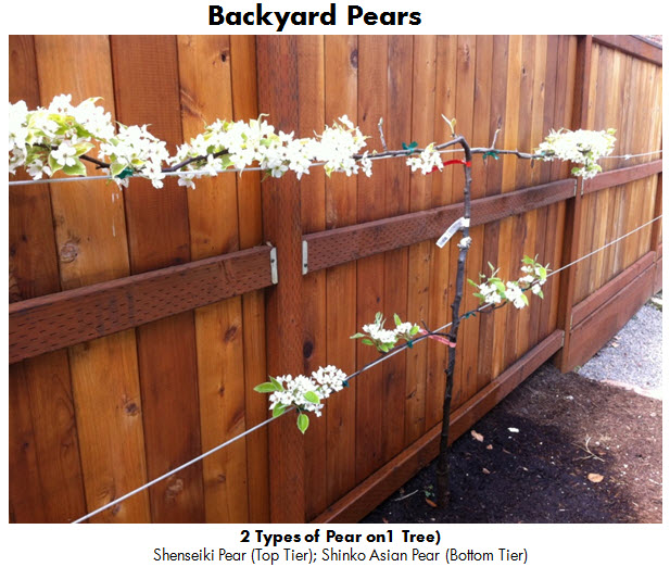Backyard Pears 1 April 2013