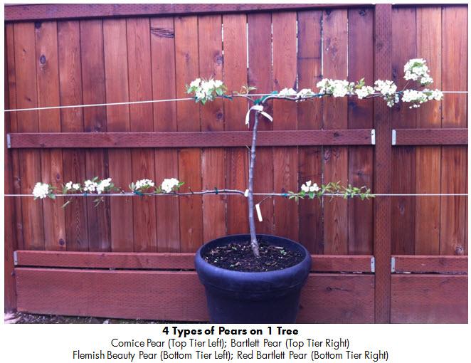 Backyard Pears 2 April 2013